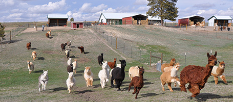 Alpacas Running on Falkor Ranch